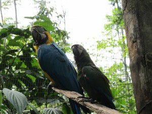 Blue and Yellow Macaw with Amazon Parrot - they mate for life