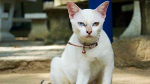 chaloklum - cat (s)