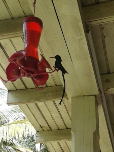 Swallow Tail Hummingbird