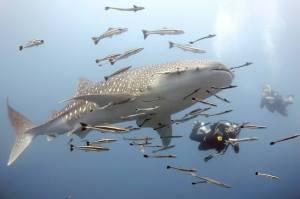 Whale shark at Sail Rock
